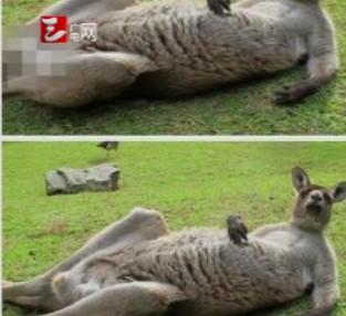 袋鼠露下体打马赛克 澳旅游局遭轰