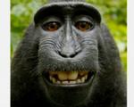 黑冠猕猴自拍照网络走红 掀版权大战