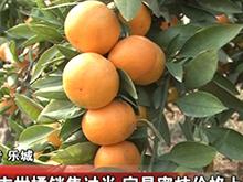 宜昌柑橘销售过半 宜昌蜜桔价格上涨
