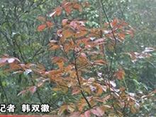 去哪赏红叶?夷陵红叶进入最佳观赏季