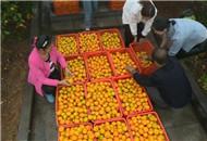 全市柑橘销售过半 进度快于去年