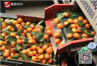 五峰蜜橘待销 市农业局上门兜底收购