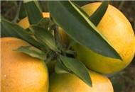 夷陵区:75万吨柑桔已近售罄 质好价稳受欢迎