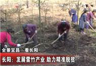 长阳:发展雷竹产业 助力精准脱贫