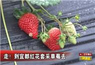 走!到宜都红花套采草莓去