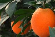 优质脐橙出茅坪 自驾采摘正当时