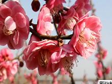 周末踏青新据点 龙泉梅园花正香