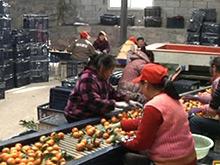 宜昌柑橘销售过八成 进度价格优于往年