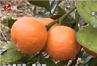 2016年宜都市柑橘产量突破60万吨 创历史新高